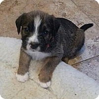 Adopt A Pet :: Sherlock - Russellville, KY