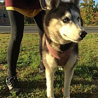 Siberian Husky Dog for adoption in Matawan, New Jersey - Snowy
