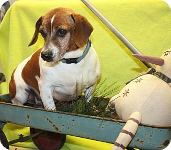 Beagle/Jack Russell Terrier Mix Dog for adoption in Ripley, West Virginia - Rudy