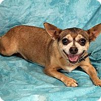 Adopt A Pet :: Sadie Chi - St. Louis, MO