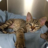 Adopt A Pet :: Luna #2 - Lunenburg, MA