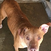 American Pit Bull Terrier Dog for adoption in El Centro, California - Stevia