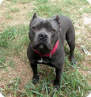 American Staffordshire Terrier Mix Dog for adoption in Boston, Massachusetts - Lebowski