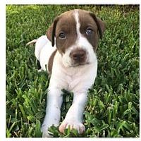 Adopt A Pet :: Lucy 7 - Houston, TX