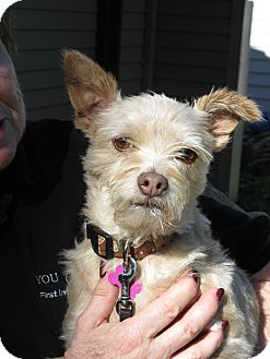 Poodle (Miniature)/Terrier (Unknown Type, Small) Mix Dog for adoption in Salem, Oregon - Mocha