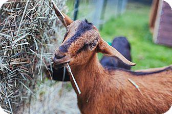 Goat for adoption in Maple Valley, Washington - Bunga & Lockette