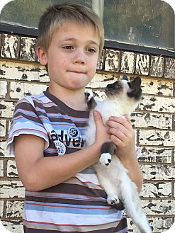Snowshoe Kitten for adoption in Weatherford, Texas - *THEODORE*