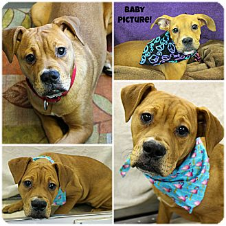 American Pit Bull Terrier/Boxer Mix Puppy for adoption in Forked River, New Jersey - Truffles