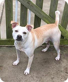 Labrador Retriever Mix Dog for adoption in Jacksonville, North Carolina - Snow