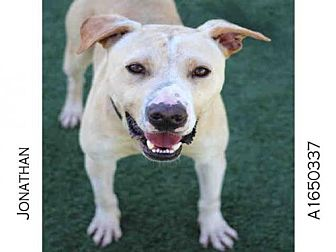 American Staffordshire Terrier Dog for adoption in Los Angeles, California - JONATHAN