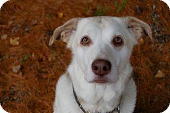 Shepherd (Unknown Type)/Husky Mix Dog for adoption in Lake City, Michigan - Dog ID# 2066