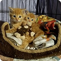 Adopt A Pet :: Clementine & Marmalade - Parker Ford, PA