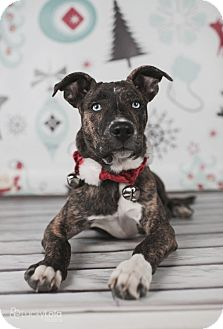 Airedale Terrier/Bull Terrier Mix Puppy for adoption in Columbus, Ohio - Bosley