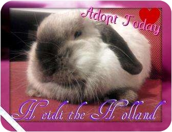 Lop, Holland for adoption in Lakeland, Florida - Heidi