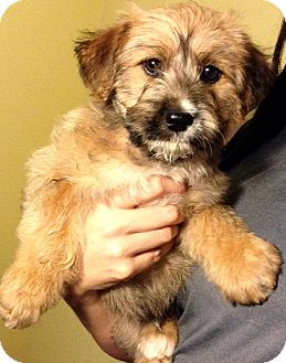 Poodle (Standard)/Terrier (Unknown Type, Medium) Mix Puppy for adoption in Inglewood, California - Bear