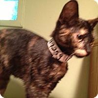 Adopt A Pet :: Amber - East Hanover, NJ