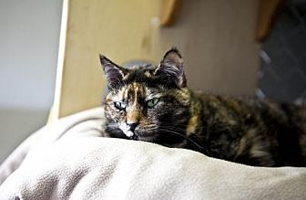 Domestic Shorthair Cat for adoption in Midway City, California - Stripey