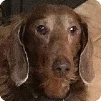 Adopt A Pet :: Susie Stockings - Houston, TX