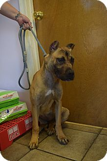 Presa Canario Puppy for adoption in Baltimore, Maryland - Tessa Rosa
