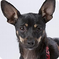 Chihuahua/Miniature Pinscher Mix Dog for adoption in Pt. Richmond, California - MOMO