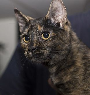 Domestic Shorthair Cat for adoption in Lombard, Illinois - Emmie