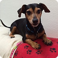 Dachshund Mix Dog for adoption in Scottsdale, Arizona - Guinness