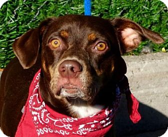 Dachshund/American Pit Bull Terrier Mix Puppy for adoption in Ridgefield, Connecticut - Dallas