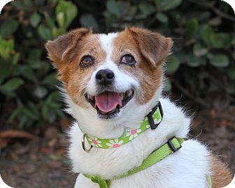 Terrier (Unknown Type, Small)/Spaniel (Unknown Type) Mix Dog for adoption in Monrovia, California - Mimi