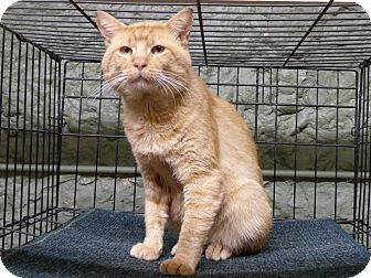 Domestic Shorthair Cat for adoption in Marlinton, West Virginia - Sundance--RESCUED!