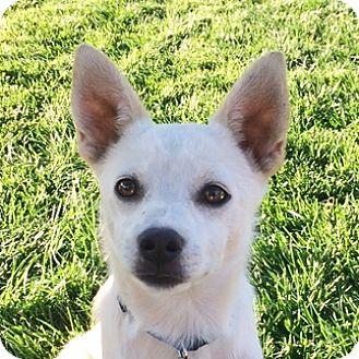 American Eskimo Dog/Pomeranian Mix Dog for adoption in Sunnyvale, California - Yuki