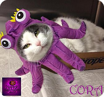Domestic Shorthair Cat for adoption in East Brunswick, New Jersey - Cora