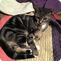 Domestic Shorthair Kitten for adoption in Olive Branch, Mississippi - Harley Quinn