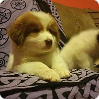 Adopt A Pet :: Morpheus - Sandwich, MA