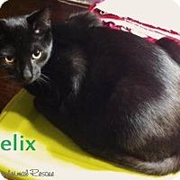 Adopt A Pet :: Felix - Cuddly! - Huntsville, ON