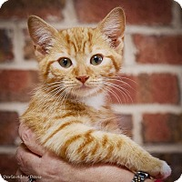 Domestic Shorthair Kitten for adoption in Lincolnton, North Carolina - The Harris Clan
