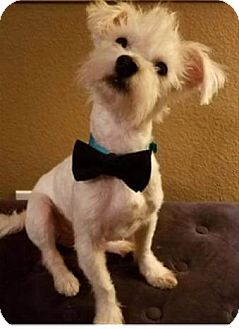 Cairn Terrier Mix Dog for adoption in Dallas, Texas - Milo IV
