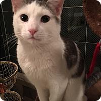 Adopt A Pet :: Applejack - Bedford Hills, NY