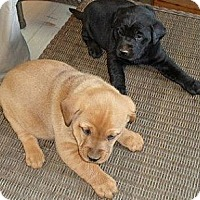 Adopt A Pet :: Lab puppies! - Chicago, IL