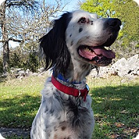 English Setter Dog for adoption in New Braunfels, Texas - Jet