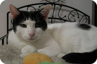 Domestic Shorthair Cat for adoption in Chicago, Illinois - Monarch