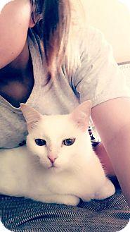 Domestic Shorthair Cat for adoption in Cincinnati, Ohio - zz 'Blue' courtesy listing