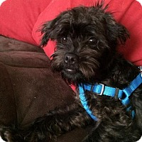 Adopt A Pet :: Percy- Adoption Pending - Fairfield, OH