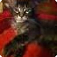 Domestic Mediumhair Cat for adoption in Glendale, Arizona - Barrow