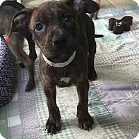 Adopt A Pet :: Bokamper - Ft. Lauderdale, FL