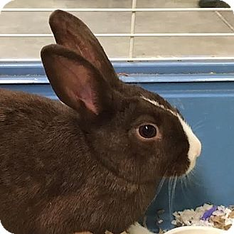 Dutch Mix for adoption in Columbia, Illinois - Loretta