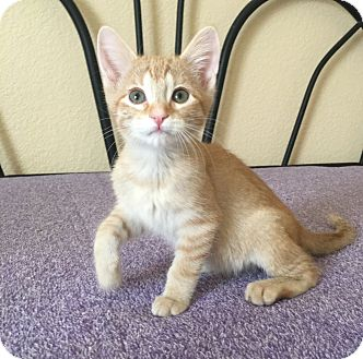 Domestic Shorthair Kitten for adoption in Plano, Texas - PIKACHU - SWEET BOTTLE BABY!
