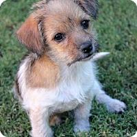 Adopt A Pet :: Schmidt - Phoenix, AZ