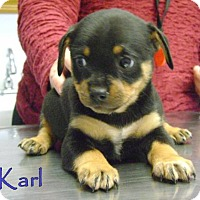 Adopt A Pet :: D10 Litter-Karl ADOPTION PENDING - Livonia, MI