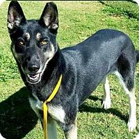 German Shepherd Dog Mix Dog for adoption in Irving, Texas - Mini