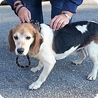 Beagle Dog for adoption in Tarboro, North Carolina - Charlie Brown Intake #1452